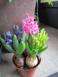Hyacinthus 150228.jpg