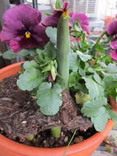 tulip 150228.jpg